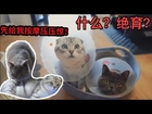 猫奴养猫记   喵星人~~绝育前尽给对方按摩。Cat slaves keep cats and remember to massage cats before sterilization.